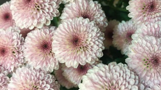 IMMAGINE Il Crisantemo, la margherita dai 16 petali