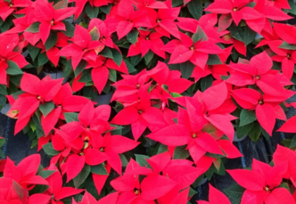 The Christmas Flower Poinsettia cultivated by RB Plant Albenga