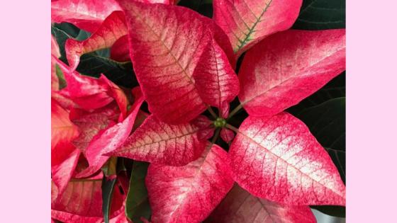Stella di Natale RB Plant, suggerimenti per mantenerla in salute