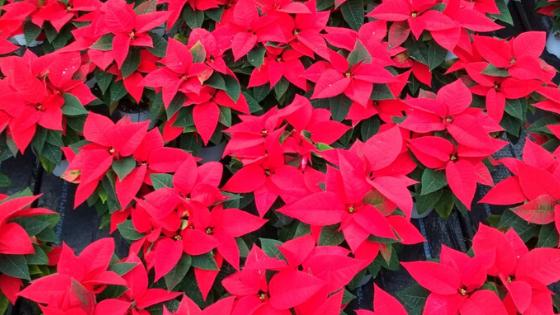 IMMAGINE Stelle di Natale produzione e vendita RB Plant Albenga