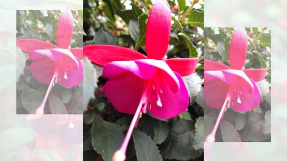 Fiore di fucsia in vaso RB Plant