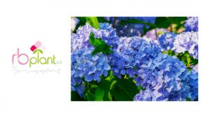 Come coltivare l'ortensia, RB Plant Albenga