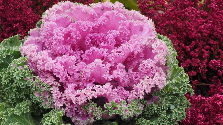 Cavolo ornamentale RB Plant Albenga, produzione e vendita piante e fiori