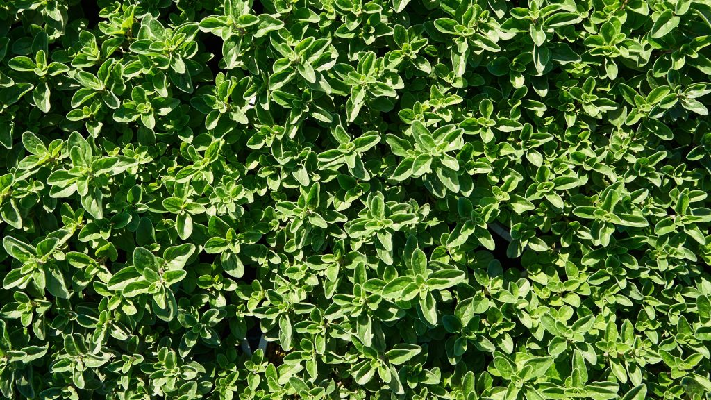 Origano Sunny heRBs, parte della linea di aromatiche di RB Plant di Albenga