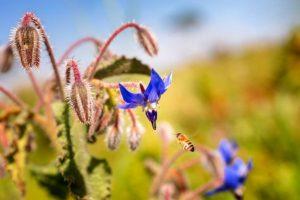 Borragine/Borage Sunny heRBs : coltivazione, conservazione, uso in cucina e curiosità- RB Plant Albenga