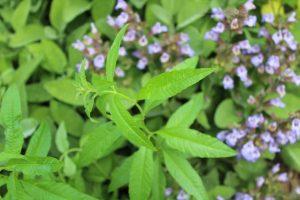Lippia, anche chiamata erba Luigia o Limoncina di RB Plant Albenga